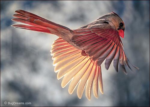 Lieder-Cardinal_0804122.jpg