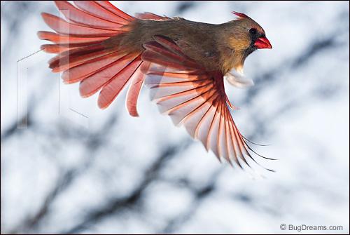 Lieder-Cardinal_1901121.jpg