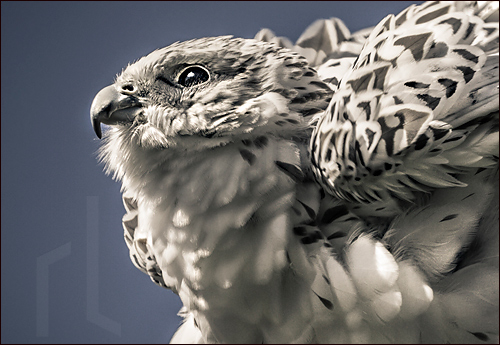 A gyrfalcon so bright he dissolves the walls of heaven