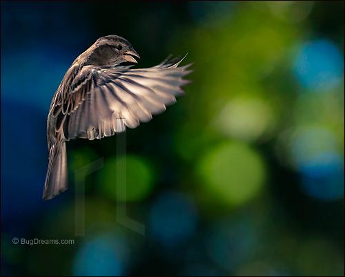 Lieder_Sparrow_2109066b2.jpg