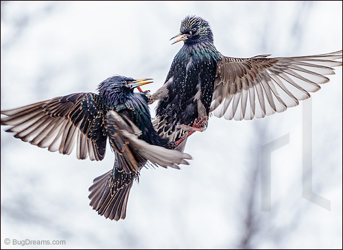 Starlings bound together in mid-flight