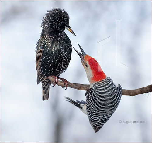 Lieder_Starling_Woodpecker_1001131.jpg