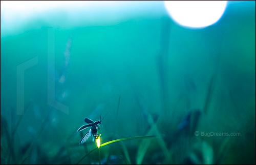 Firefly summer flashback