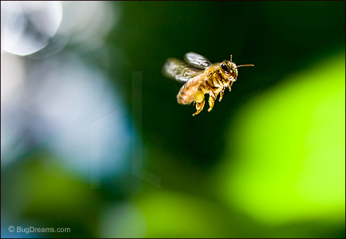 A honey bee bends the light to her will