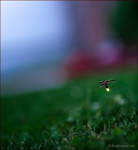 A firefly lights the way for a future summer