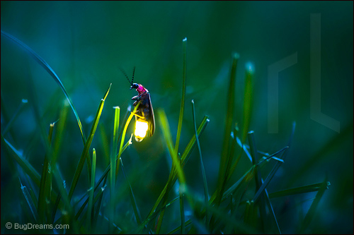 A firefly waits for cupid