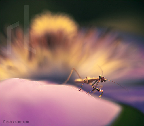 A mantis scans the new landscape of a flower