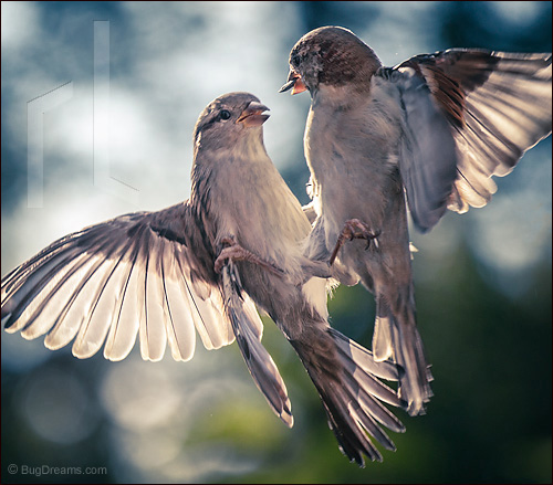 A songbird argument
