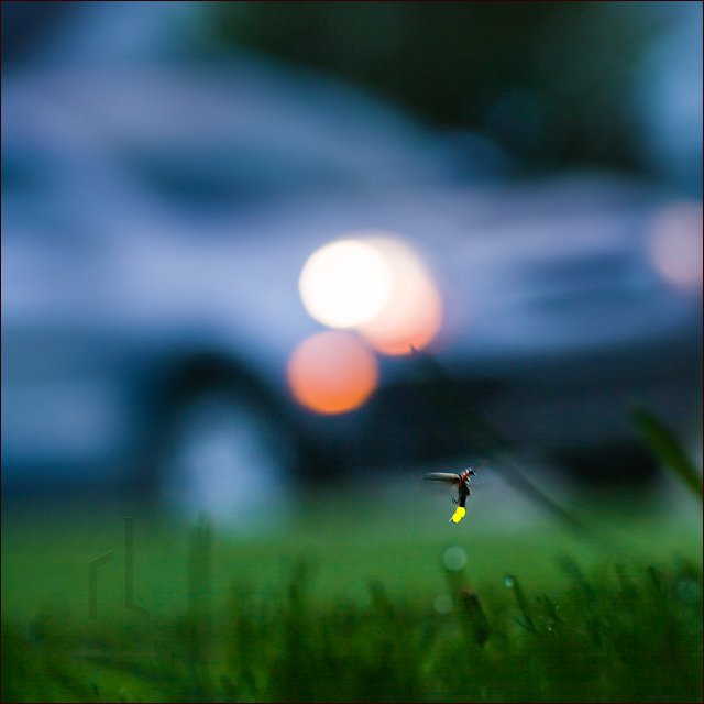 A Firefly flashes on a summer lawn