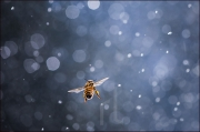 Honey bee in the rain