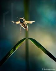 Honey bee in flight, Apis mellifera