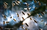 Honey bees swarm near hive, Apis mellifera