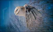 Barn owl in flight, tyto alba