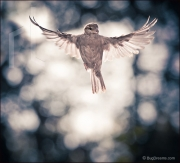 Sparrow in flight, Passer domesticus
