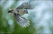 Downy Woodpecker in flight, Picoides pubescens