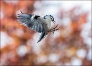 White-breasted Nuthatch in flight, Sitta carolinensi