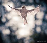 Sparrow in flight, Passer domesticus