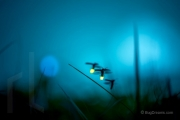 Fireflies flashing for a mate