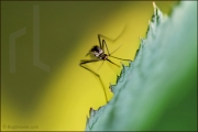 Mosquito resting on leaf