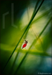 Mosquito, filled with blood resting on grass blade