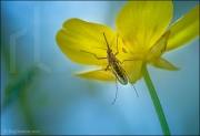 Mosquito resting on flower