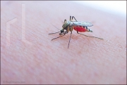 Mosquito feeding on human
