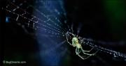 Orchard Orbweaver Spider on dew-covered web