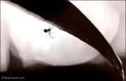 Orchard Orbweaver Spider under leaf