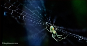 Orchard Orbweaver Spider on dew-covered web