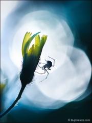 Orb-weaving spider on flower