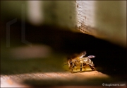 Honey bee at the hive