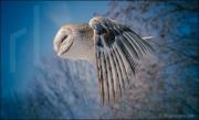 Barn owl in flight, tyto alba