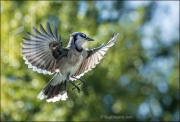 Blue jay in flight, Cyanocitta cristata
