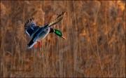 Mallard duck in flight, Anas platyrhynchos