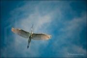Great White Egret, Ardea alba