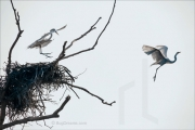 Great White Egrets steal from a bald eagle's nest, Ardea alba