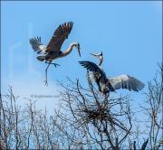 Great blue herons building nest, Ardea herodias