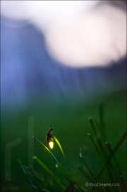 Firefly flashing for a mate