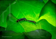 Fireflies mating on leaf