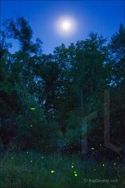 Fireflies flashing in a summer meadow
