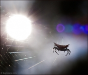 Orb-weaving spider on web at sunset
