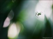 Orbweaver Spider on web